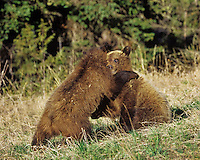 Grizzly bear cubs wrestling, Greater Yellowstone ecosystem, Wyoming. May.