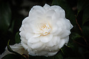 Camellia japonica 'Alba Plena'. One of the first varieties of camellia introduced into Europe. Brought from China in 1792, along with 'Variegata'. A slow-growing variety, so may have been one of the original camellias planted at Chiswick House in the 1820s.(From catalogue, Camellias in the Conservatory Festival 2011, Chiswick House and Gardens).