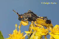 AM01-623z  Ambush Bug, male on goldenrod flowers, Phymata americana