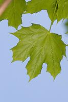 Spitz-Ahorn, Spitzahorn, Ahorn, Blätter, Blatt vor blauem Himmel, Acer platanoides, Norway Maple