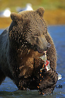 Grizzly Bear or brown bear alaska Alaska Brown bears also known as Costal Grizzlies or grizzly bears Grizzly Bear Photos, Alaska Brown Bear with cubs. Purchase grizzly bear fine art limited edition prints here Grizzly Bear Photo Bear Photos,