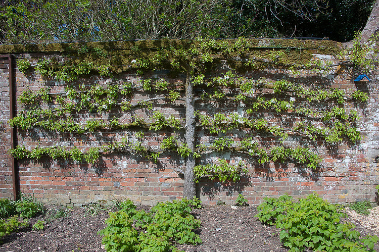 Espalier fruit tree, Walled Garden, Hinton Ampner, Hampshire.