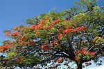 Seychelles: Flamboyant tree - Royal poinciana (Delonix regia)