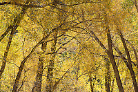 Autumn cottonwoods near Kebler Pass, Colorado.<br /> <br /> Canon EOS 5D, 70-200 f/2.8L lens with 1.4x teleconverter