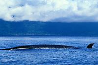 sei whale, Balaenoptera borealis, Azores Islands, North Atlantic Ocean