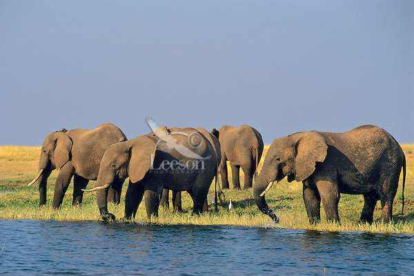 African Elephants.African Elephants feeding and drinking along the edge of Lake Kariba in Matusadona National Park, Tanzania.