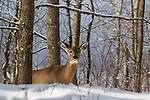 White-tailed doe deep within the northern forest.