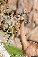 0523-1108  Southern Gerenuk Eating Leaves Using Long Neck to Reach them, Litocranius walleri walleri  © David Kuhn/Dwight Kuhn Photography