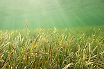 Gardens of the Queen, Cuba; sun rays streaming in from above a bed of sea grass in shallow water