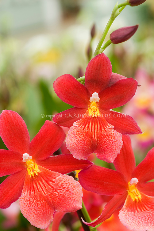 Burrageara Nelly Isler orchid hybrid several flowers blooming