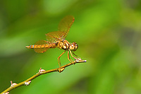 304560010 a wild male eastern amberwing dragonfly perithemis tenera perches on a dead grass stem at santa ana national wildlife refuge rio grande valley texas united states