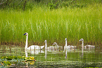 Trumpeter swan, Cygnus buccinator, leads her brood through the reeds of a freshwater pond on the Seward Peninsula, Alaska.