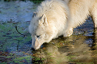 Alaskan tundra wolf, or barren-ground wolf, Canis lupus tundrarum, drinking water, Alaska, USA, North America