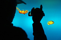A Chinese man looks at colorful jellyfish in the Beijing Aquarium.