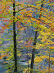 McCormick's Creek State Park, IN: American Hornbeam (Carpinus caroliniana) tree with autumn foliage above McCormick Creek. McCormick Creek State Park is the oldest in Indiana; established in 1916.