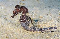 short-snouted seahorse, Hippocampus hippocampus, endemic to Mediterranean Sea, Xwejni Bay, Gozo, Malta, Mediterranean Sea, Atlantic Ocean