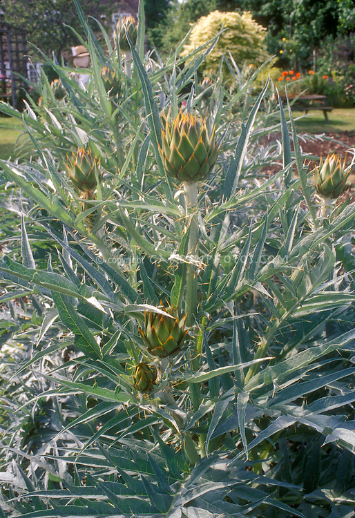 Artichokes on plant in vegetable garden Cynara