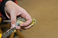 Blackpoll Warbler (Dendroica striata) gets leg band to help monitor fall migration & population trends, Haldimand Bird Observatory, s. Ontario, Canada.