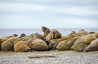 Group of male Atlantic walruses, Odobenus rosmarus rosmarus, Torrellneset Island, Svalbard, Norway, Europe, Arctic Ocean