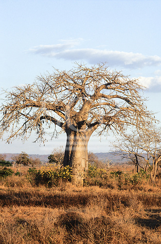 Bagamoyo, Tanzania. Baobab (Adansonia digitata) tree in dry savannah.