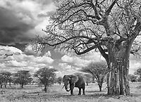 Tarangire National Park is known for its elephants and its baobab trees.