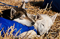 Close up of Gerald Sousa's dogs, IPA (L) and Guiness, asleep on their straw at Galena  in Interior Alaska during the 2010 Iditarod