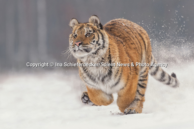 Pictured: A tiger paws playfully at the air as it frolics in the snow.   The 90kg wild cat runs through the frozen landscape as it jumps around entertaining itself.<br /> <br /> The unusual sight was captured by amateur photographer Ina Schieferdecker near Hlinsko in the Czech Republic.   The one year old animal was running around with its trainer who used a ball and a fishing rod to keep the tiger occupied.   SEE OUR COPY FOR DETAILS<br /> <br /> Please byline: Ina Schieferdecker/Solent News<br /> <br /> © Ina Schieferdecker/Solent News & Photo Agency<br /> UK +44 (0) 2380 458800