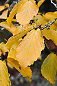 Autumn foliage of Chinese witch hazel (Hamamelis mollis 'Nymans'), early November.