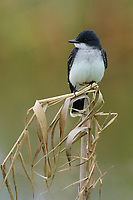 Adult Eastern Kingbird (Tyrannus tyrannus). Anahuac NWR, Texas. March.