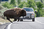American Bison (Bison bison) running in front of a tourist vehicle on the road through the Lamar Valley. Yellowstone National Park, Wyoming, USA. June