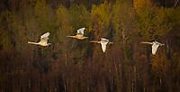 Trumpeter Swan family @ Anchorage's Potter Marsh Thursday, October 15, 2020