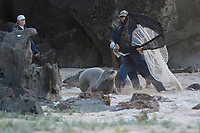 NOAA researchers Mark Sullivan (holding net), Sean Guerin (behind), and Kenady Wilson (at left), capture a Hawaiian monk seal, Neomonachus schauinslandi, in order to put a Crittercam and tracking instrumentation package on it; west end of Molokai, Hawaii, photo taken under NOAA permit 10137-6