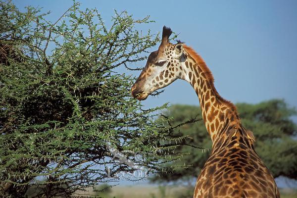 Masai Giraffe (Giraffa camelopardalis) browsing on thorny bush, East Africa.