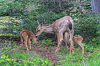 Columbian black-tailed deer (Odocoileus hemionus columbianus) doe nuzzles one fawn while another one nurses.  Pacific Northwest.  Summer.