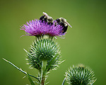 Two Bumble Bees and a tiny Green Bee on a Thistle flower. Image taken with a Nikon D5 camera and 200-500 mm f/5.6 lens.