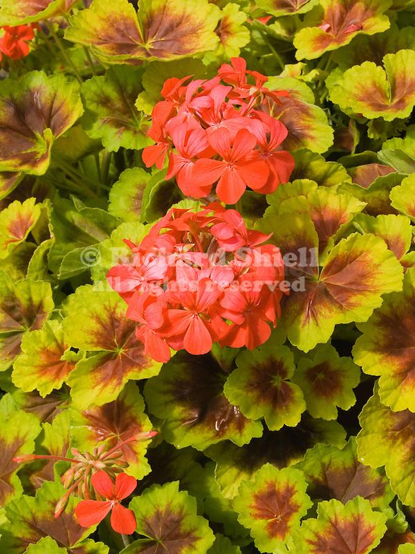 Indian Dunes Geranium, Pelargonium hortorum