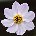 Dahlia merckii, late September. Native to Mexico.