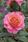 DISTANT THUNDER ROSE, ROSA HYBRID
