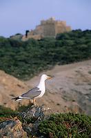 Europe/Provence-Alpes-Côte d'Azur/83/Var/Iles d'Hyères/Ile de Porquerolles: Mouette et côte rocheuse près du Fort du Grand Langoustier