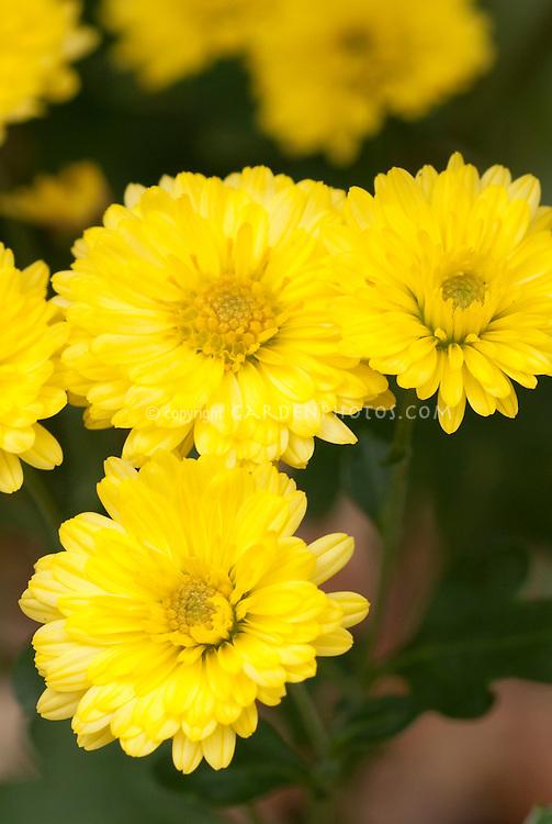 Chrysanthemum Nantyderry Sunshine