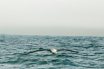 Antipodean Albatross (Diomedea antipodensis) gliding over ocean, Kaikoura, South Island, New Zealand
