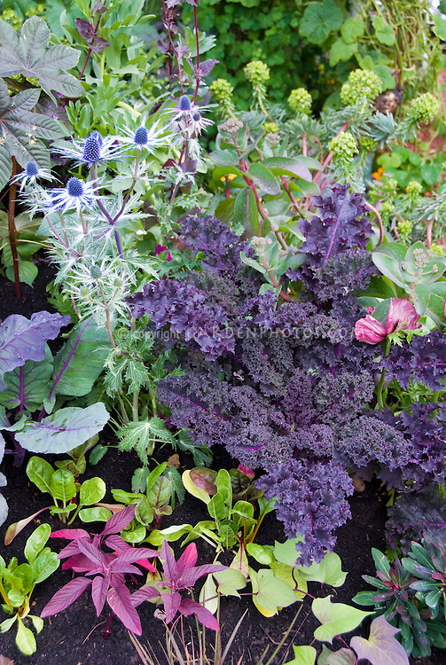 Kale Redbor in mixed flower and vegetable garden with Eryngium, amaranthus, salad greens, cabbage, Euphorbia, Papaver poppy, Ricinus