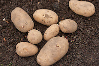 Reife Kartoffel-Knollen, Kartoffel, Kartoffeln, Solanum tuberosum, Potato, Pomme de terre