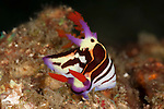 Purple nembrotha nudibranch (Nembrotha purpureolineolata)