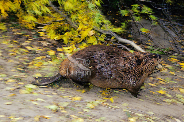 North American Beaver (Castor canadensis) carrying tree branch back to lodge area for winter food.  Western U.S., fall.  Photo panned to imply movement.