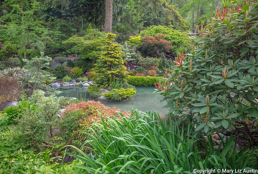 Vashon-Maury Island, WA: Rhododendron and Iris next to a salt water plunge pool surrounded by woodland perennial garden.