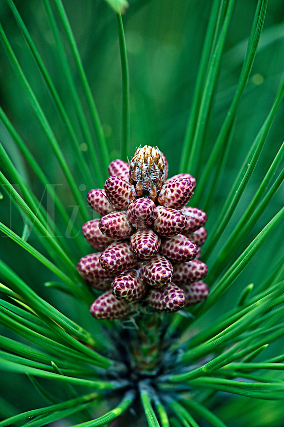Needles and Pollen Cones on Lodgepole Pine Tree or Pinus contorta latifolia