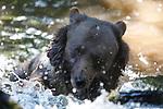 Foto: VidiPhoto<br /> <br /> RHENEN – Badende bejaarde beren en (bloed)dorstige wolven in het Berenbos van Ouwehands Dierenpark in Rhenen vrijdag. Hoewel de dieren tijdens de tropische hitte zelf al zoveel mogelijk afkoeling zoeken in de frisse waterpartijen in het bos, wordt dit ook nog eens gestimuleerd door de dierverzorgers. Zo wordt een deel van het voedsel in het water gegooid, zodat de dieren het er zelf uit moeten vissen. Volgens een woordvoerder van de dierentuin is Ouwehands voor dieren op dit moment de beste plek om te vertoeven. Er zijn overal veel vijvers, maar ook bomen die voor schaduw zorgen. Ouwehands ligt op de bosrijke Grebbeberg.