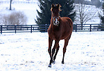 17 January 2010.   Kentucky Stallion Farms.  A yearling enjoys her time outside in the snow at one of the farms in Woodford County.