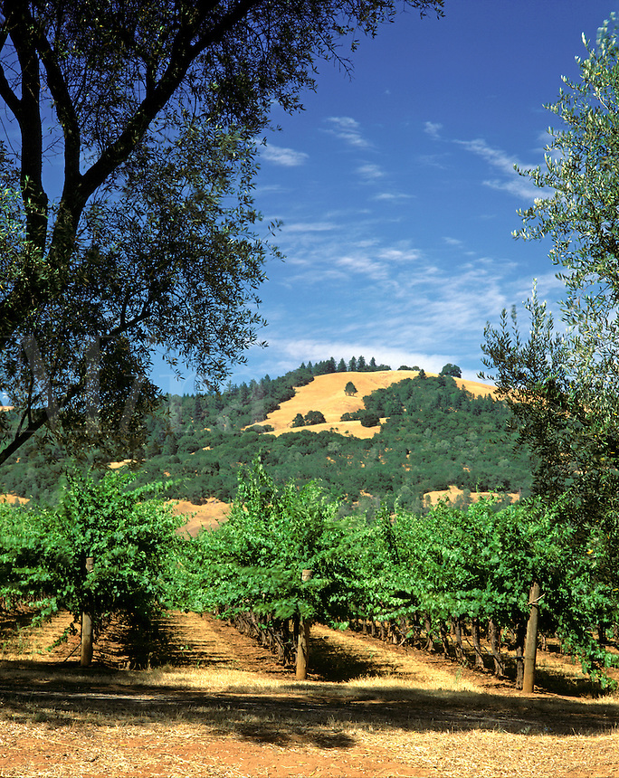 A VINEYARD of wine grapes grow in the afternoon sun in the SONOMA AREA of CALIFORNIA